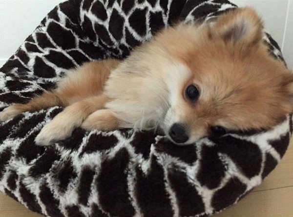 pom laying down