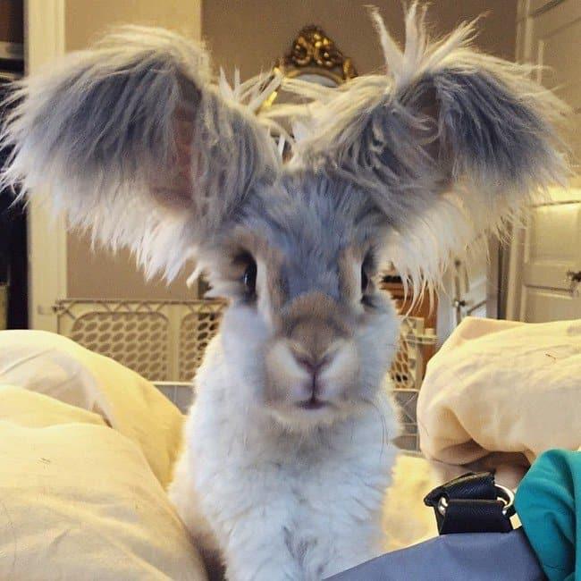 rabbit crazy ears
