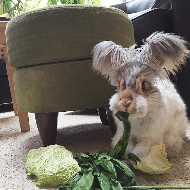 rabbit eating cabbage