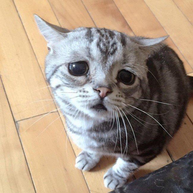 Meet Luhu The Saddest Cat On The Internet-5732