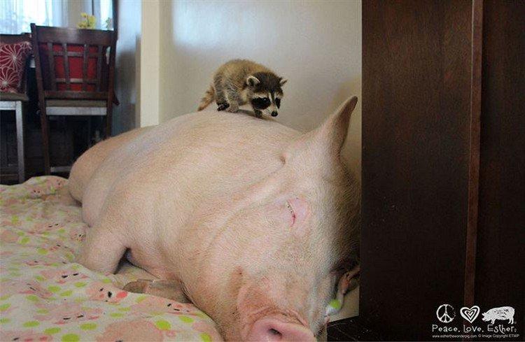 sleeping pig raccoon