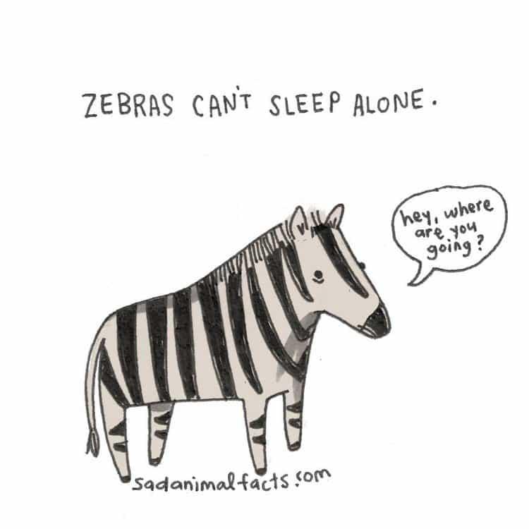 zebra fact