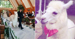 Alpaca Wedding Witness Japan