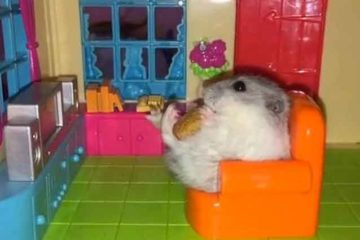 Hamsters Home And Habits