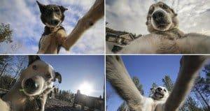 Huskies Are Masters Of The Selfie