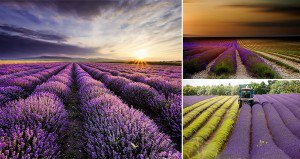 Lavender Being Harvested