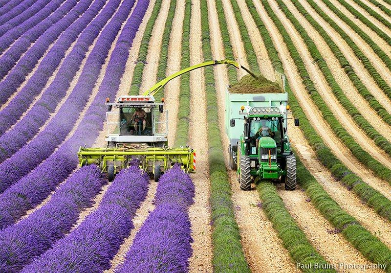 Lavender Crop Harvest