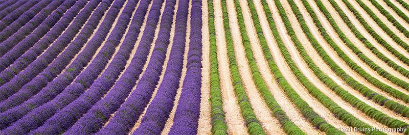 Lavender Crops