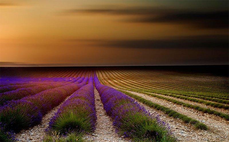 Lavender Scenery