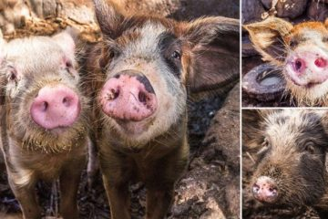 Pigs From Cabo Verde