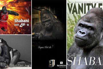 Shabani The Model Gorilla