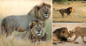 Walter Palmer Cecil Lion Killing