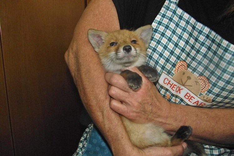 anima-fox