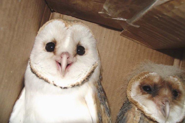 anima-owls