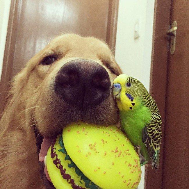 budgie dog toy
