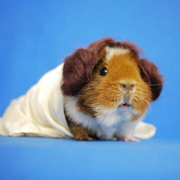 fuzzberta-cosplaying-guinea-pig-leia