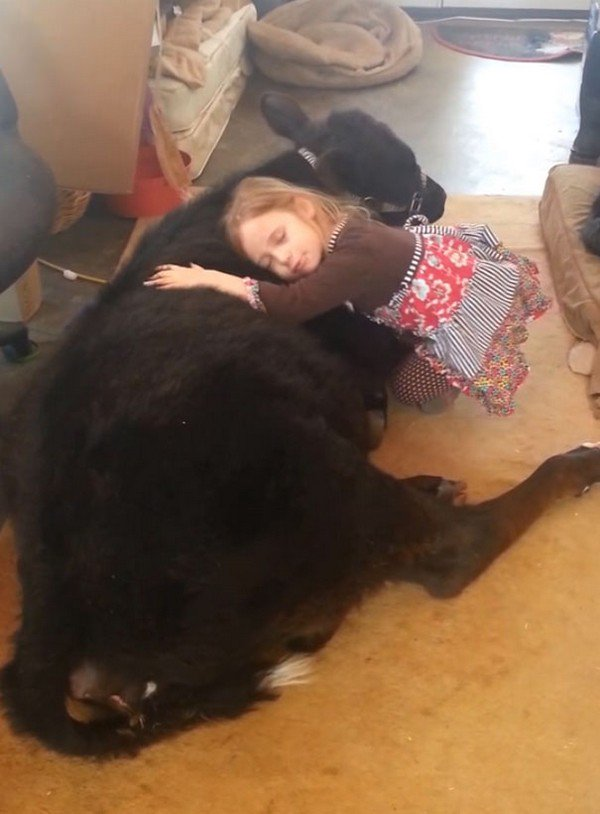 girl sleeping with cow