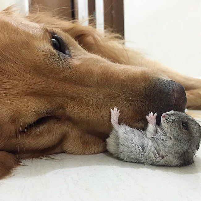 hamster dog nose laying