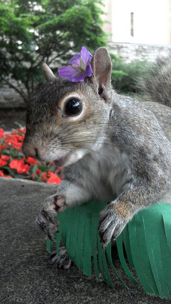 hawaiian squirrel