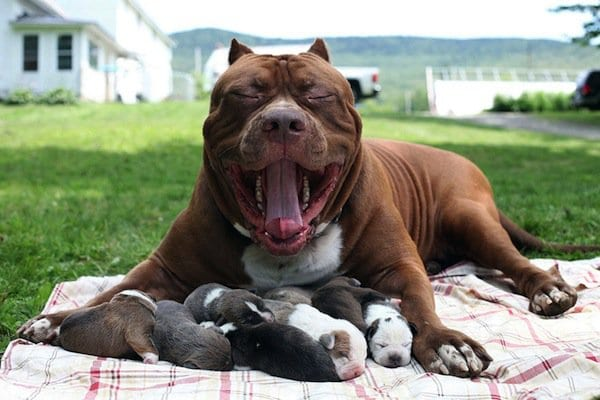 World's Largest Pitbull Fathers Eight Pups Worth Up To Half