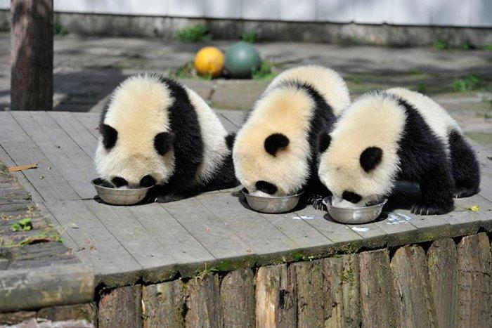 panda-bowl