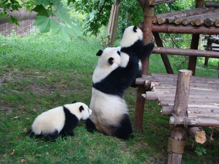 panda-climbing