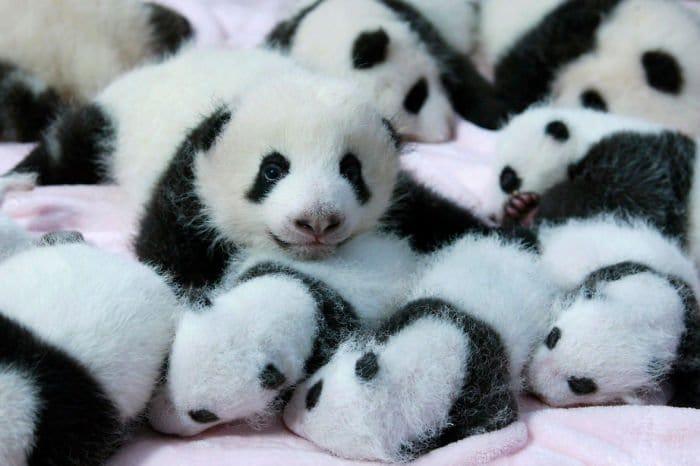panda-cute