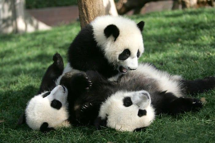 panda-three