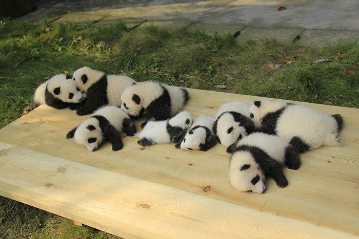 pandas-playing-two