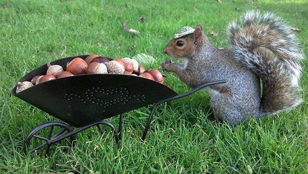 wheelbarrow nuts squirrel