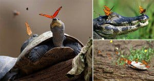 Butterflies Drinking Tears From The Eyes Of Turtles And Alligators
