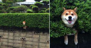 Happy Shiba Inu Stuck In A Bush