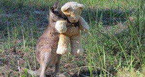 Kangaroo Hugs His Teddy Bear