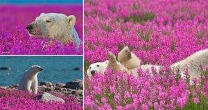 Polar Bears Playing In Flower Fields