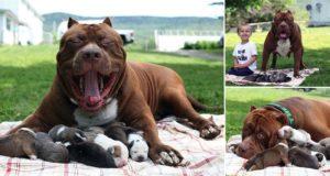 Worlds Largest Pitbull Fathers Eight Pups