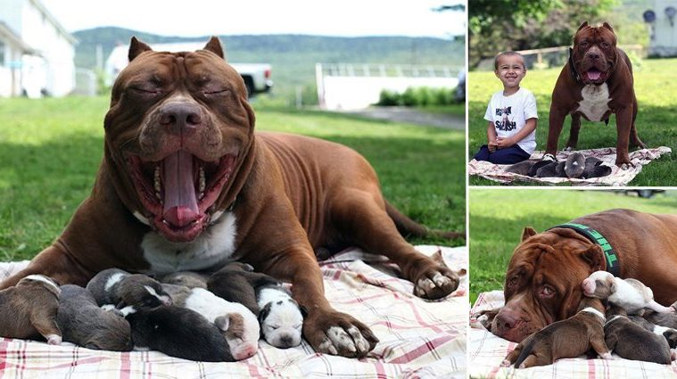 Worlds Largest Pitbull Fathers Eight Pups