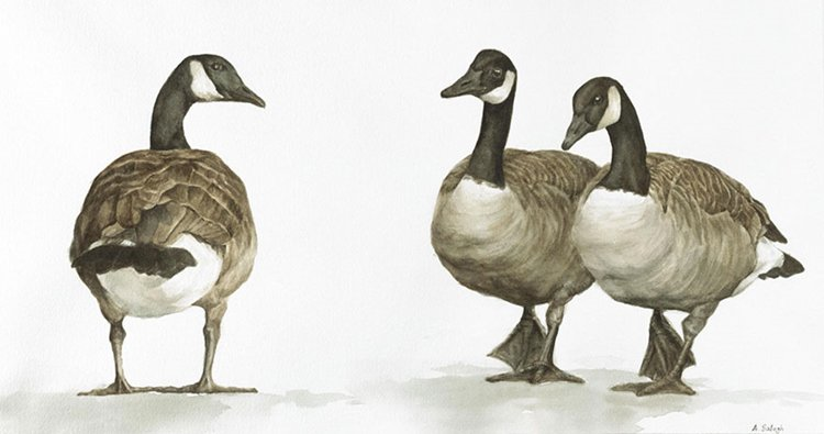 bird-watercolor-paintings-anne-balogh-canada-geese