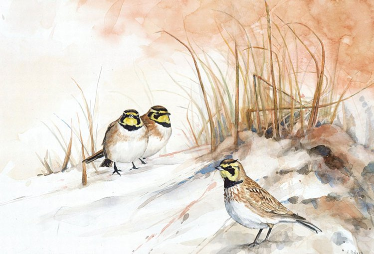 bird-watercolor-paintings-anne-balogh-lark