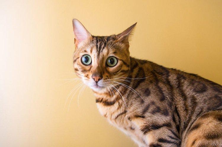cat-attentive