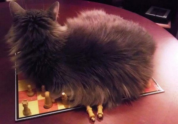 cat chess board