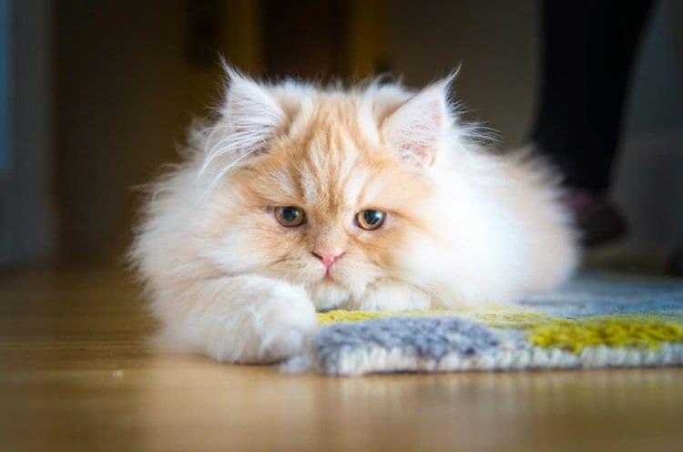 cat-dis