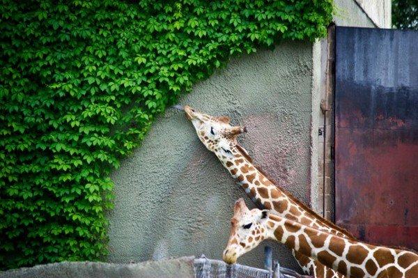 giraffes eaten perfect shape