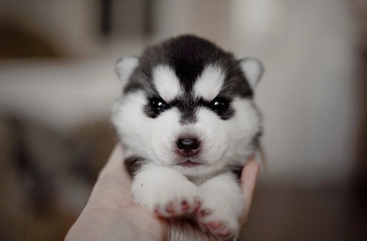 husky-babe