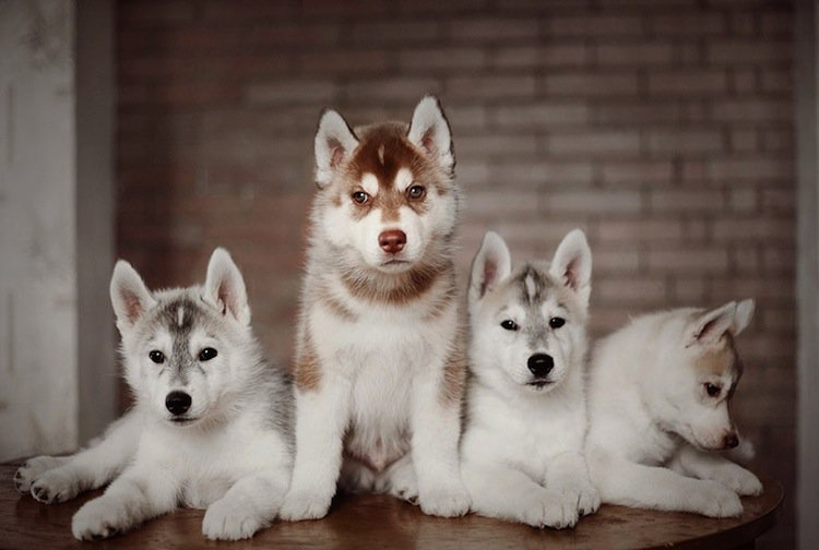 husky-three