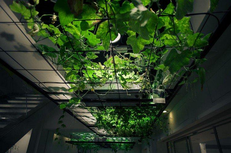 indoor cucumbers growing