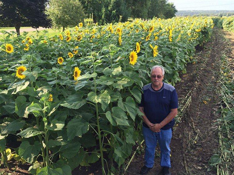 man sunflowers