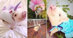 Hamlet Life Saving Pig
