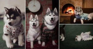 Huskies Wearing Clothes