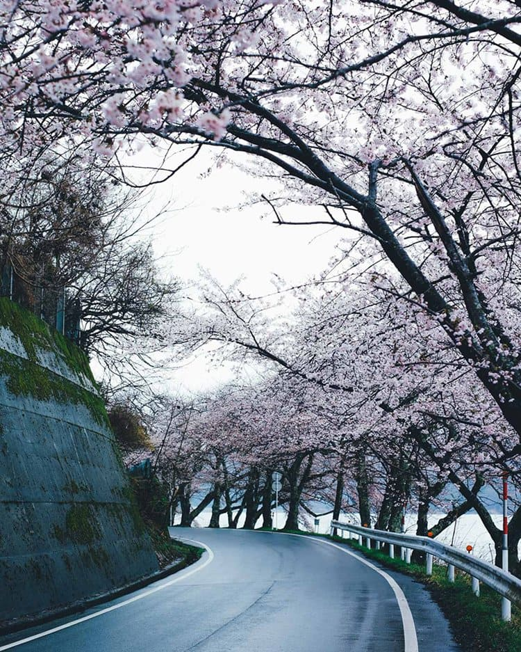 Takashi Yasui road cherry blossoms