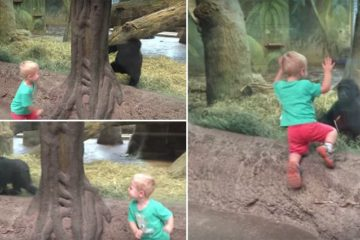 Toddler Playing Peek A Boo With Baby Gorillla
